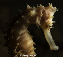 Sea horse taken at Tasi Tolu dive site west of Dili by Greg Duncan 